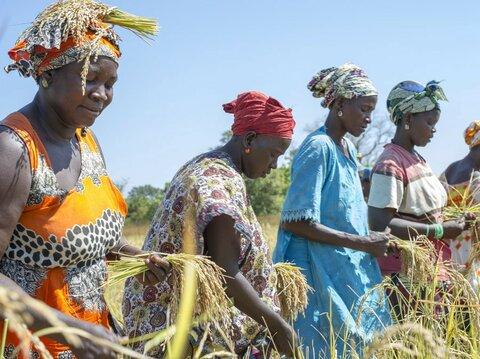 Sénégal : Bouse de vache, la « pépite verte » des femmes de Kolda